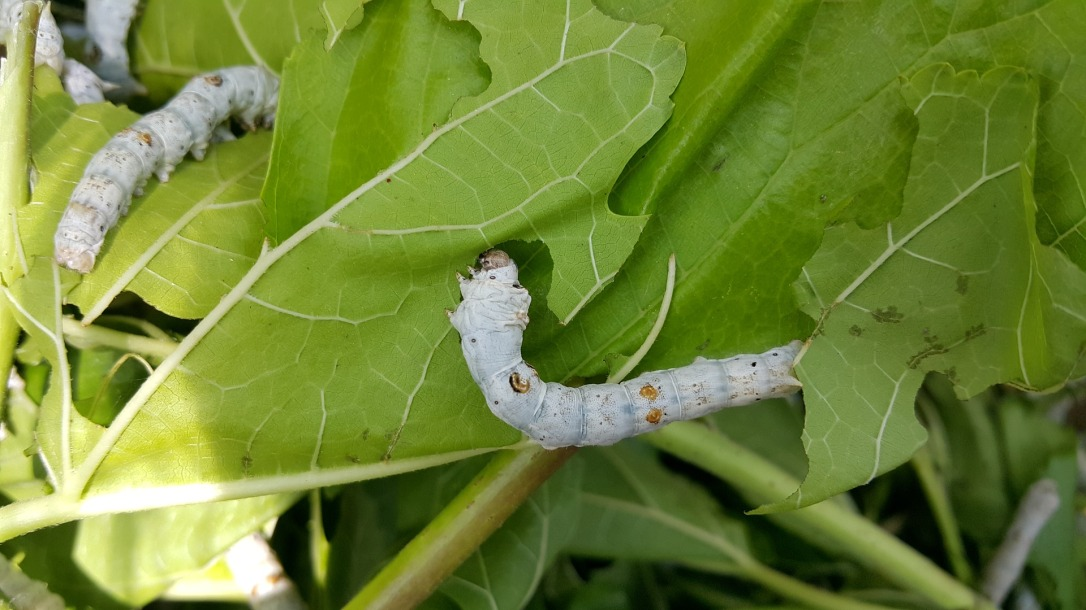 larva-1706453_1920 copy
